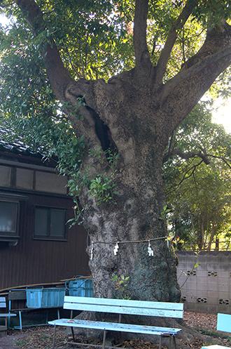 191117草加女体神社タブノキ