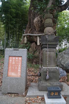 191201地蔵院タブノキ⑤