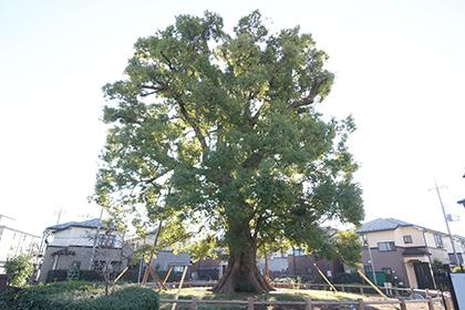 191212並木の大クス