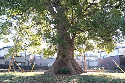 191212並木の大クス⑤