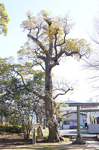200130熊野神社タブノキ①
