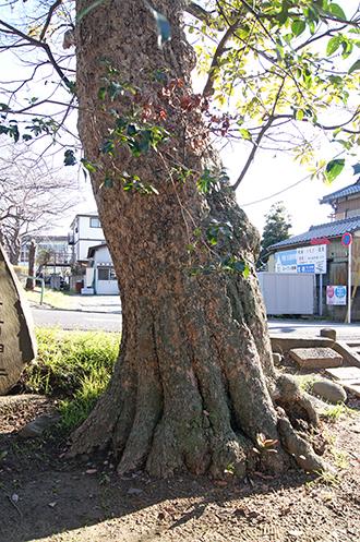 200130熊野神社タブノキ②