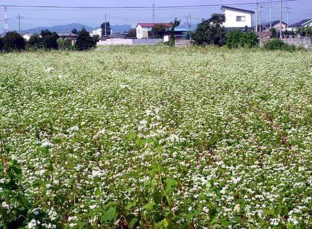 0924蕎麦畑