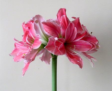 0216アマリリス開花