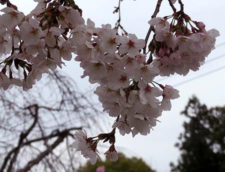 0331桜2