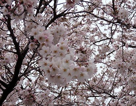 0331桜1