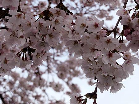 0331桜