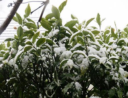 0330金柑の木