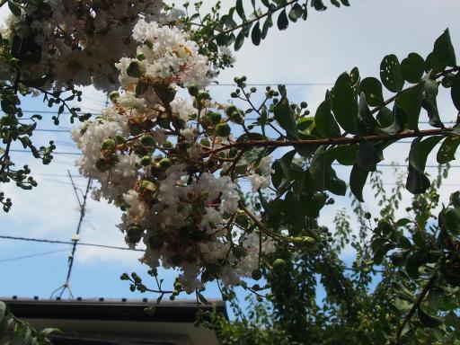 20190824・廣谷諏訪神社植物10・シロバナサルスベリ