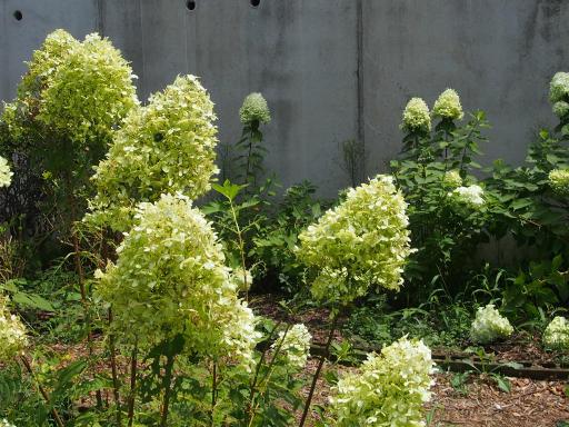 20190824・廣谷諏訪神社植物11・アメリカアジサイ