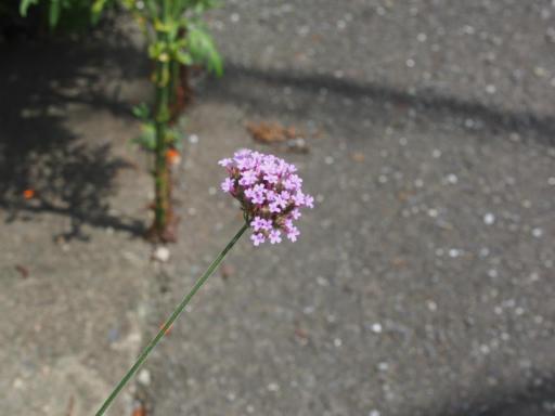 20190824・廣谷諏訪神社植物15・ヤナギハナガサ