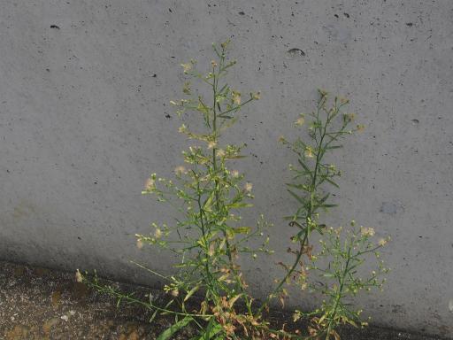 20190824・廣谷諏訪神社植物13・ケナシヒメムカシヨモギ