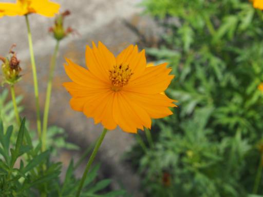 20190824・廣谷諏訪神社植物14・キバナコスモス
