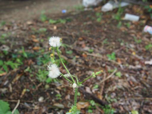 20190923・墓参り植物5・コウゾリナ