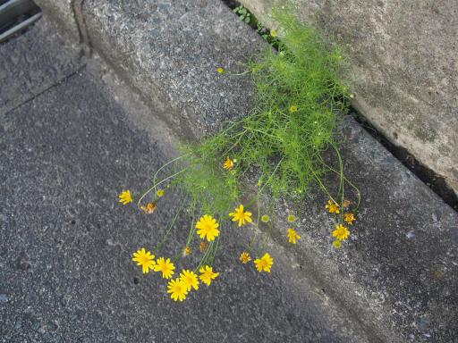 20190929・小手指徘徊植物04・イトバハルシャギク