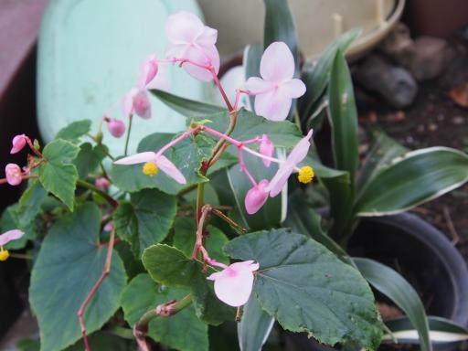 20191010・近所の植物01・シュウカイドウ