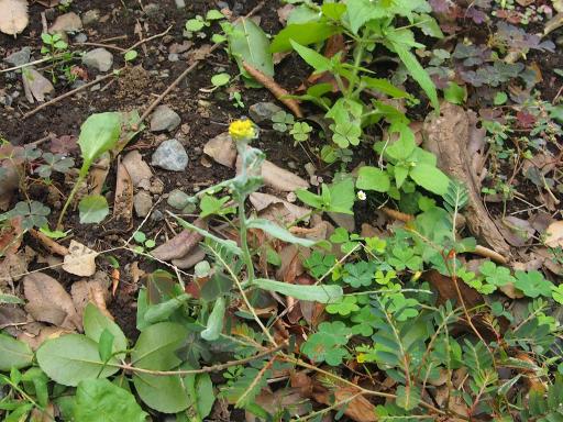 20191010・近所の植物09・ハハコグサ