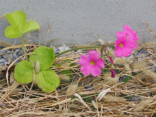 20191010・近所の植物07・ハナカタバミ