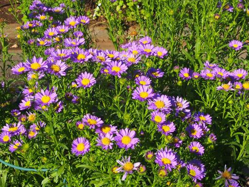 20191030・薬用植物園植物01・ヤマジノギク