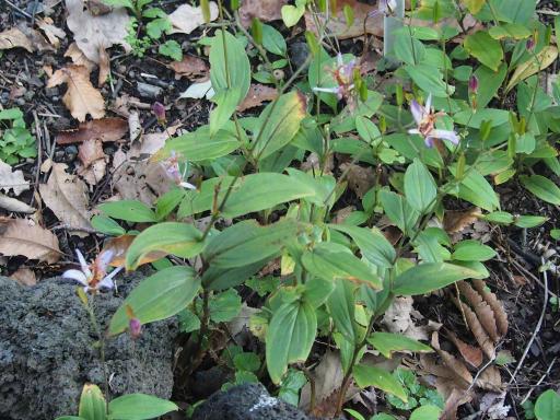 20191030・薬用植物園植物12・ヒロハノタイワンホトトギス