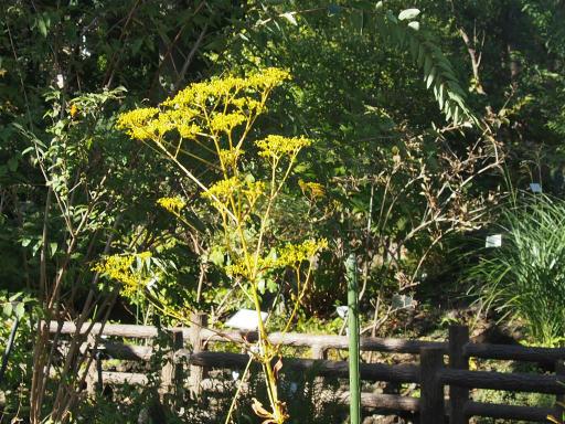 20191030・薬用植物園植物15・オミナエシ