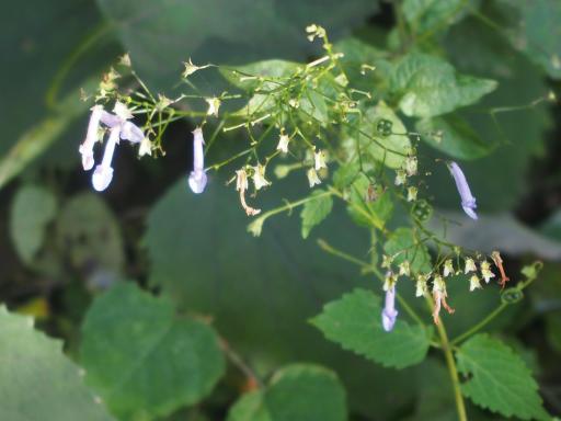 20191030・薬用植物園植物21・セキヤノアキチョウジ