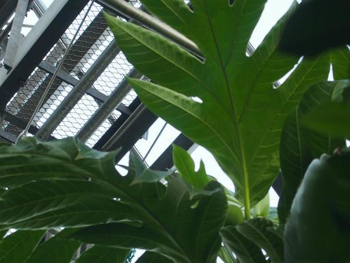 20191030・薬用植物園植物42・パンの実