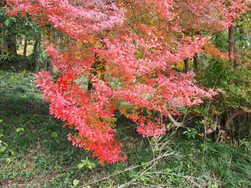 20191201・深谷ドライブ植物10(越生)・ニシキギ(紅葉)