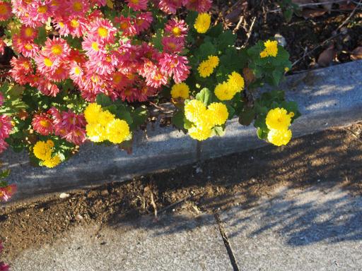 20191214・歳末風景植物4・スプレーギク(黄色)
