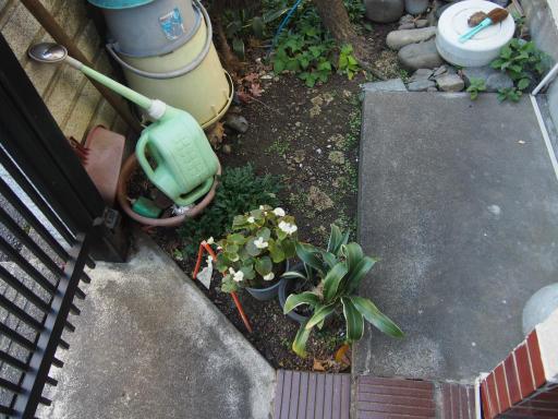 20191214・歳末風景植物6・ベゴニアセンパフローレンス