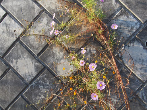 20191214・歳末風景植物1・コスモス1