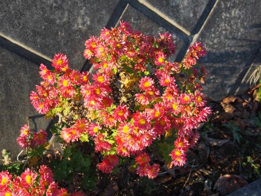 20191214・歳末風景植物3・スプレーギク(紅色)