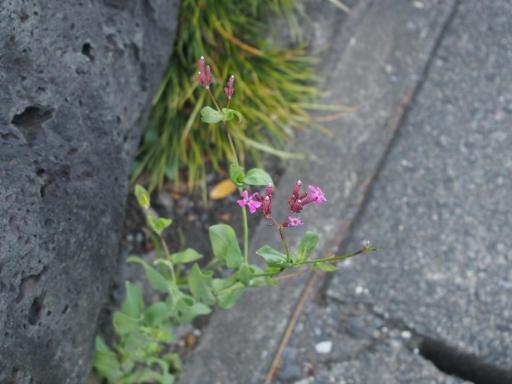 20200105・5日にやっと初詣植物01・ムシトリナデシコ