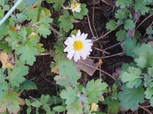 20200105・5日にやっと初詣植物11・リュウノウギク