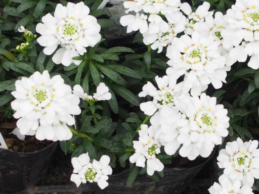 20200217・別会社の派遣登録植物04・イベリス(花屋)
