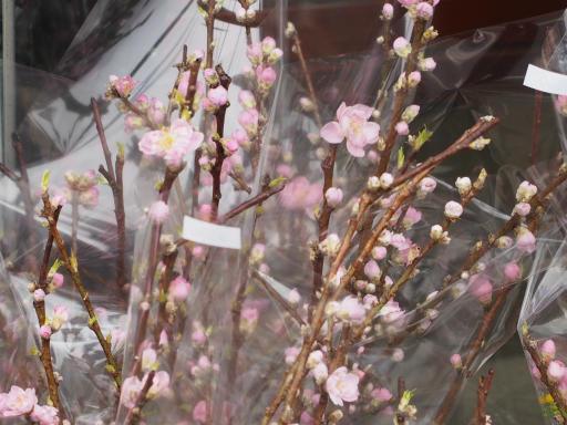 20200217・別会社の派遣登録2-08・モモの花