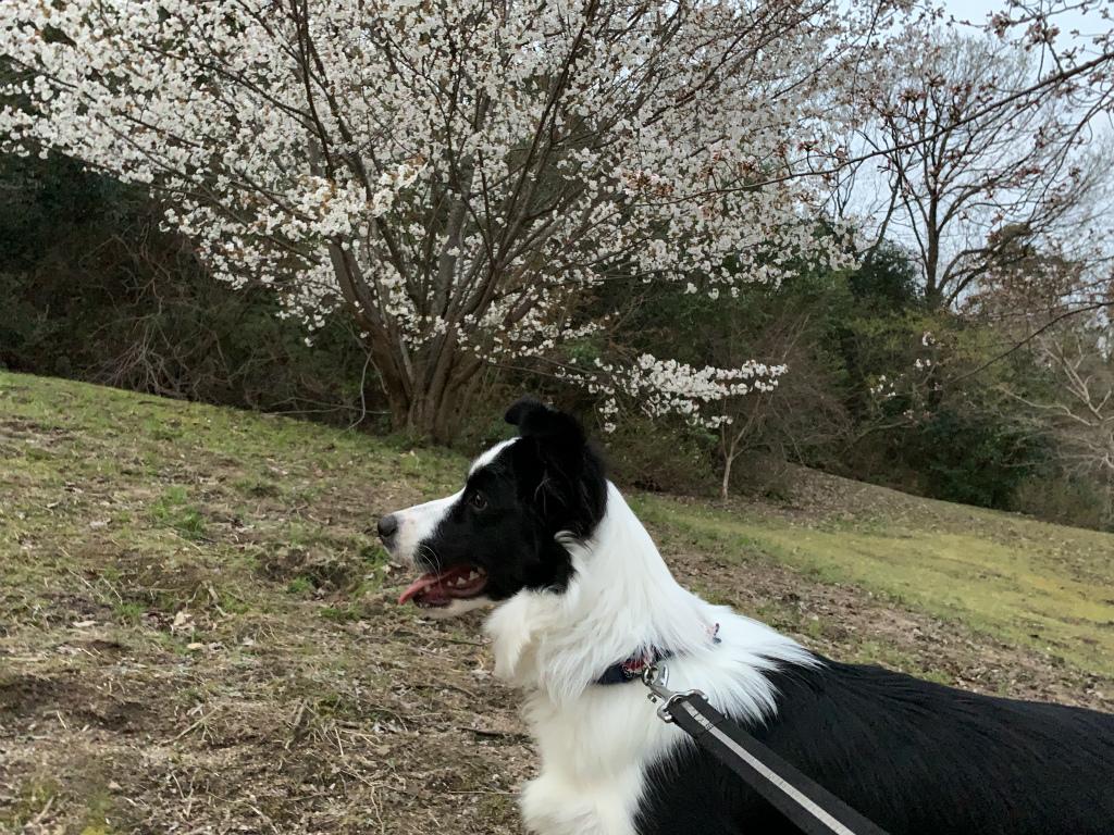 20200326桜とくまちゃん1