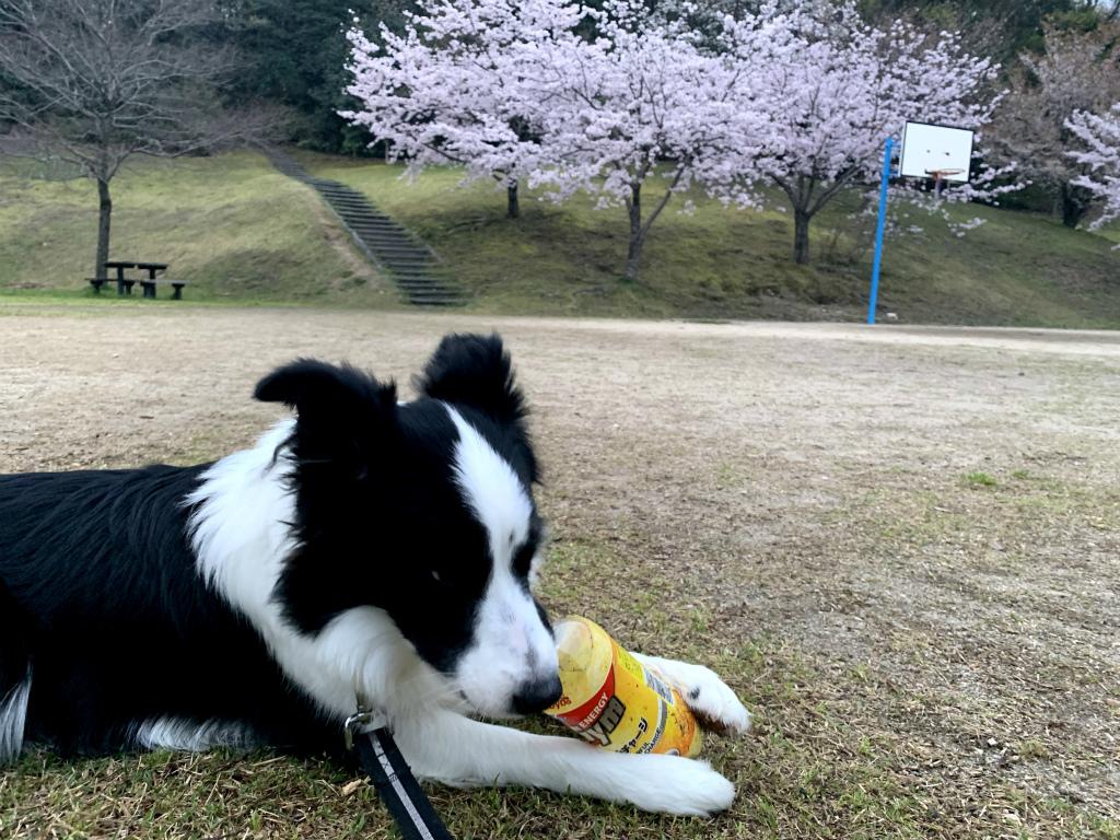 20200331くまちゃんと桜