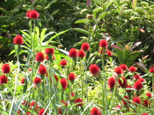 赤花千日紅 ストロベリーフィールド0001