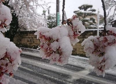 雪桜 (002)