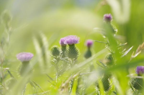 花 アザミ
