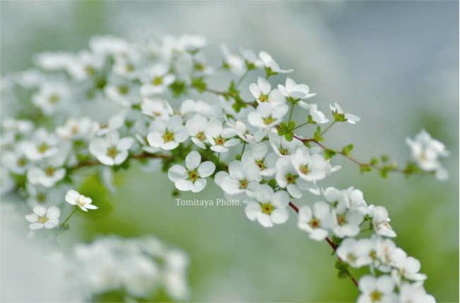 花 ユキヤナギ 雪柳 春