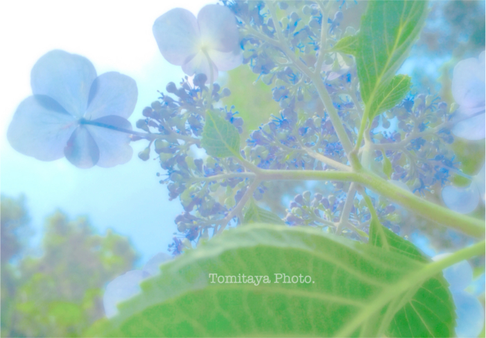 アジサイ 紫陽花 見上げる 花