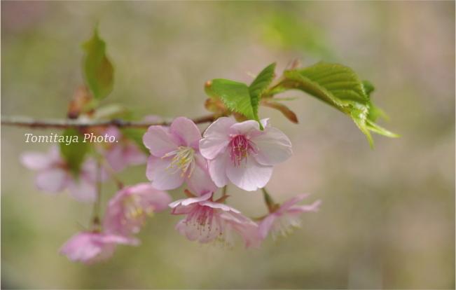桜 花 サクラ