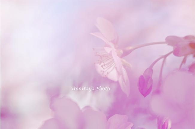 サクラ 花 桜
