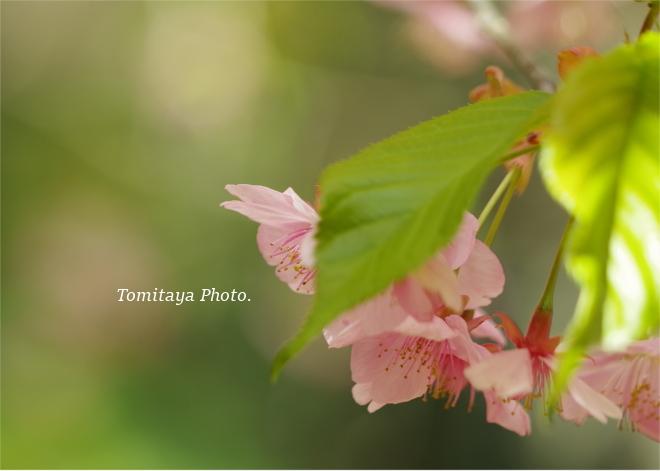 2020 桜 サクラ 花
