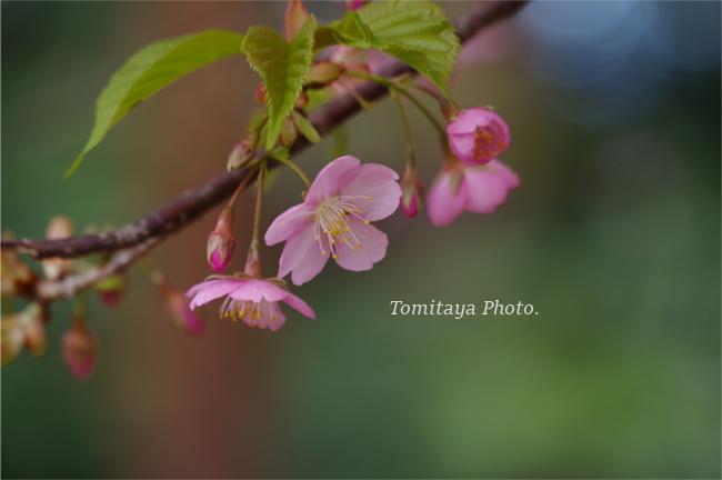 花 サクラ 桜 2020