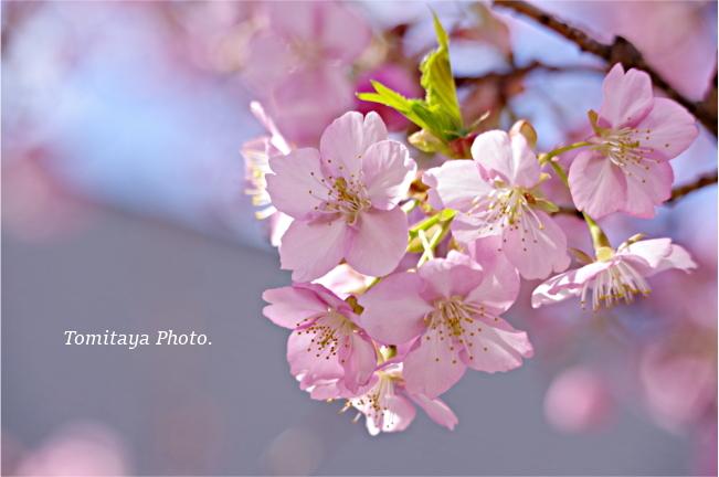 2020 桜 花 サクラ