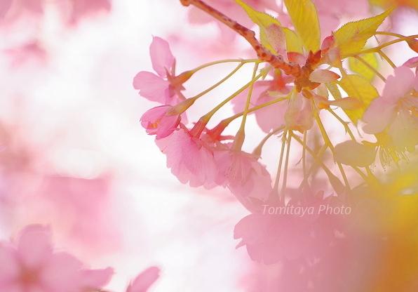 花 サクラ 2020