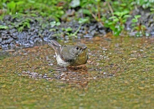 キビタキ雌水浴び3 DSP_5193